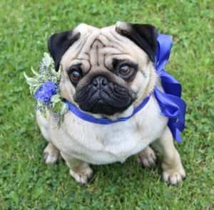 Floral dog collar with blue ribbon for a charismatic pug. Wedding flowers for dogs by Tuckshop Flowers, Birmingham.